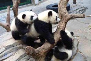 真孖假孖齊賀   熊貓3胞胎3歲喇!